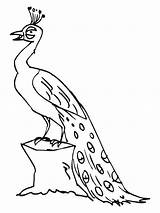 Peacock Coloring Pages Printable Outline Drawing Peacocks Clipart Birds Bestcoloringpagesforkids Animals Animal Crayola Getdrawings Adult Feather Sheets Getcoloringpages sketch template