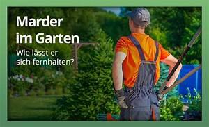 Marder Vom Auto Fernhalten : marder im garten womit am besten abwehren und vertreiben ~ Frokenaadalensverden.com Haus und Dekorationen
