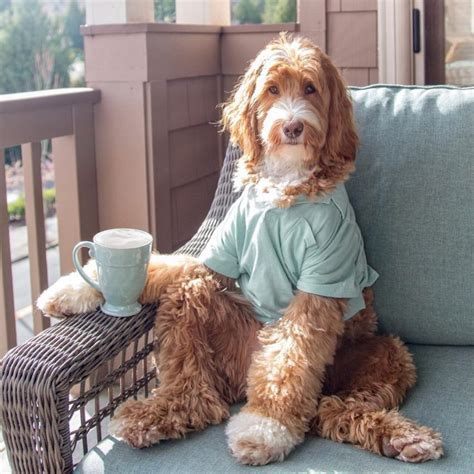 Coffee is something that is easily accessible, and that means that it may also be within easy reach for a curious canine or other family pet. Reagandoodle Loves Coffee And Is Also A Dog