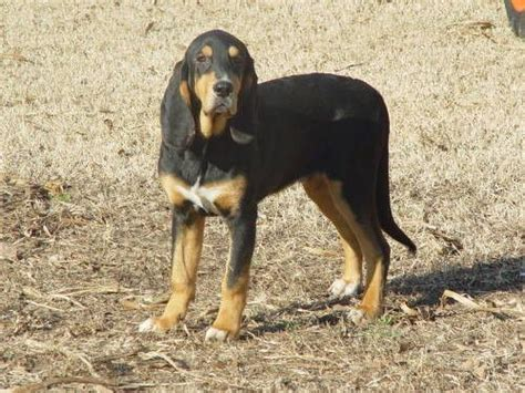 Do Black And Coonhounds Shed coonhound beagle breeds picture
