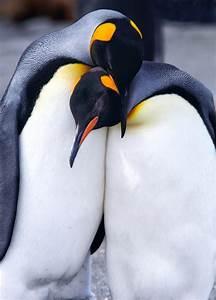 Antarctica's Adorable Emperor Penguins   Penguins, King ...