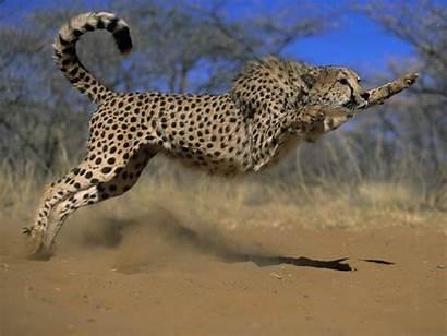 Wildlife Wallpapers Animals Wild Animal Nature Cheetah
