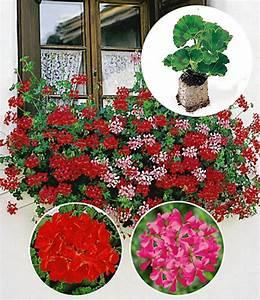 Hängepflanzen Für Balkonkästen : h nge geranien kollektion 39 rot pi h ngepflanzen bei ~ Michelbontemps.com Haus und Dekorationen
