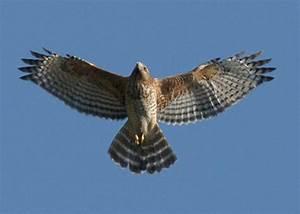 A bird's eye view of hawks | Carol Bodensteiner, Author