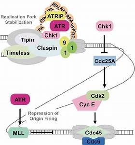Intra-S phase checkpoint. Evidence suggests that the ATR ...