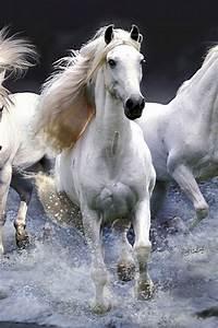 Beautiful white horses running through the water!. Please ...