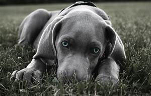 Blue eyed weimaraner puppy photo - apicfor.me
