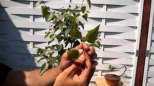 Bonsai Stecklinge Machen : yamadori bonsai birke schneiden umtopfen youtube ~ Indierocktalk.com Haus und Dekorationen