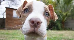 Red Nose Pitbull - Pros, Cons And Your Ultimate FAQ