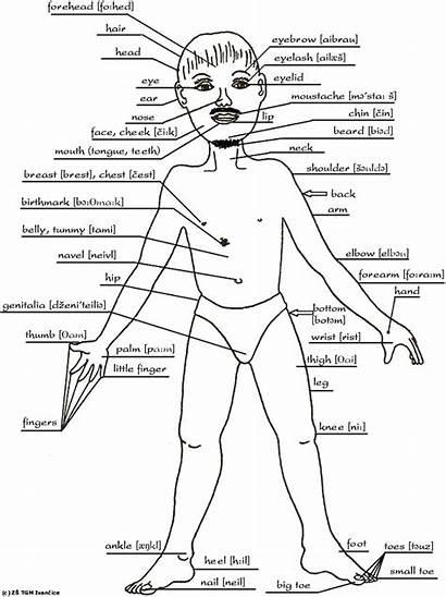 Human Parts Drawing Names Getdrawings Spanish Organs
