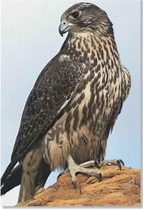 Gyrfalcon (Birds)