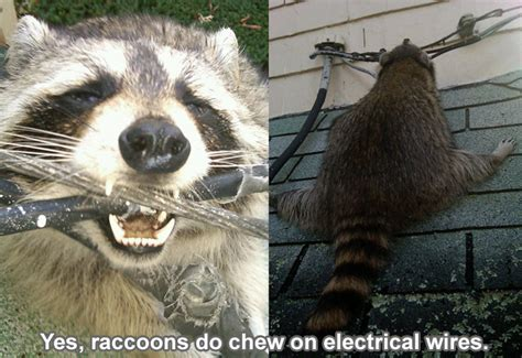 raccoons chew  wires   attic