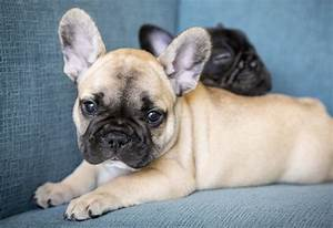 French Bulldogs And More - Home