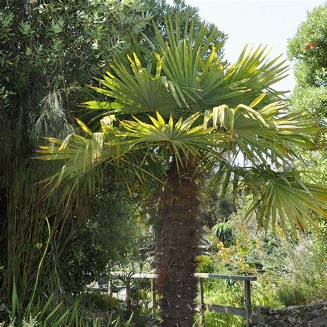 palmier chanvre en pot palmier 224 chanvre plantes et jardins