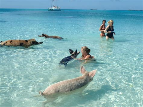 Swim With The Pigs!