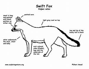 Fox  Swift  Labeling Page