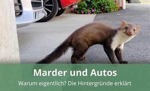 Marder Vom Auto Fernhalten : warum gehen marder an autos und fressen kabel alles wissenswerte ~ Frokenaadalensverden.com Haus und Dekorationen