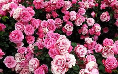 Rose Bush Pink Wallpapers Flower Extract Flowers