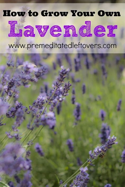 lavender how to plant how to grow lavender
