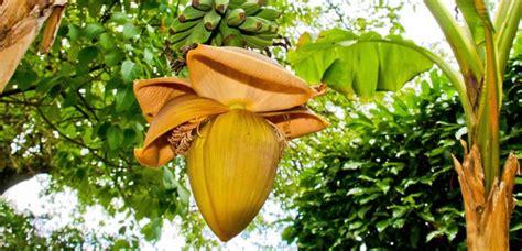 sci changement de si鑒e social l 39 histoire secrète de la banane et ce qu 39 nous apprend du changement climatique sciencesetavenir fr
