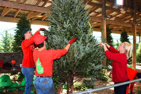 farms offer locally grown option for christmas trees