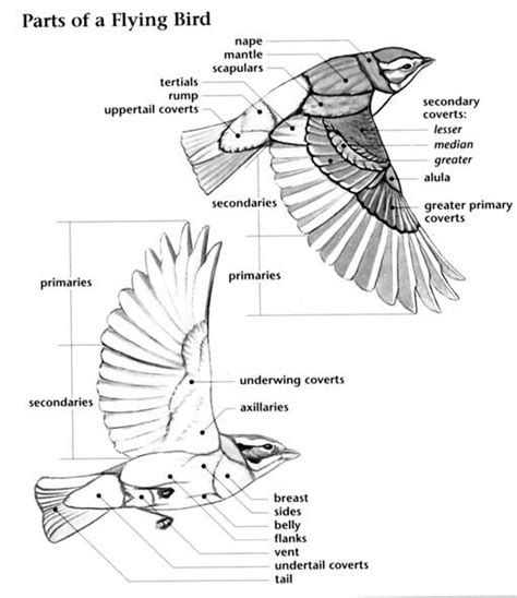 learn bird anatomy character design references