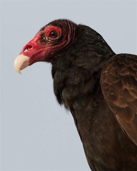 turkey vulture the whisker chronicles
