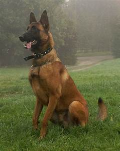 The gallery for --> Belgian Malinois Puppies 3 Months