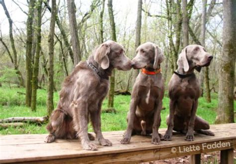 not just a short coated gray dog justweimaraners