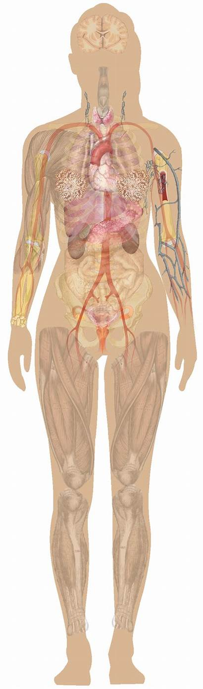 Anatomy Human Female Diagram Labels Without Chest