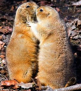 Public display of affection: Prairie dogs 'kiss and cuddle ...