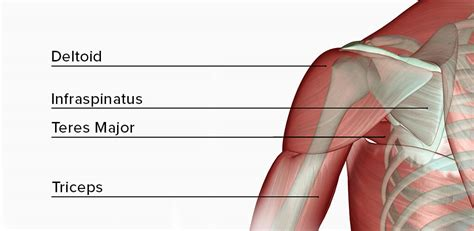 This is a partial list of weight training exercises organized by muscle groups. DUMBBELL SHOULDER WORKOUTS