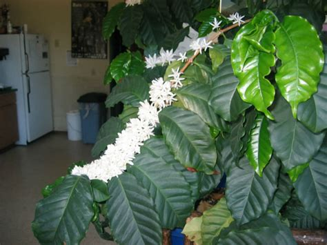 A by to growing indoor coffee plants at home calibri. How to Grow and Care for Coffee Plants at Home | World of Flowering Plants