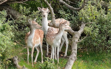 Deer In The Forest Animal Desktop Wallpaper Hd