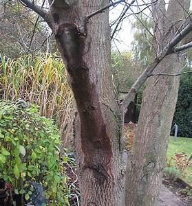Schleimpilze Im Garten : walnussbaum krankheiten walnussbaum krankheiten und sch ~ Lizthompson.info Haus und Dekorationen