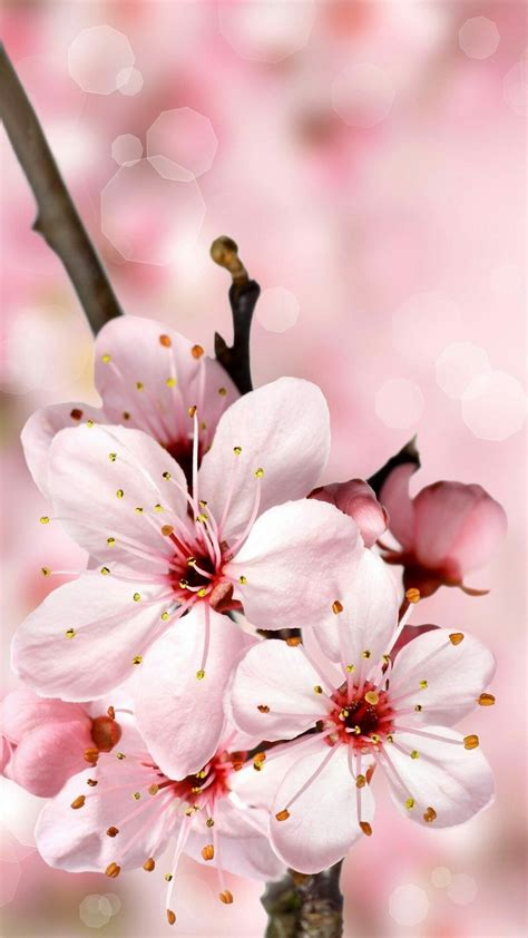Cherry tree wallpaper free download 47 cerc ugorg. 24 Cherry Blossom iPhone Wallpapers - WallpaperBoat