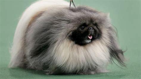 pekingese breed description history  overview