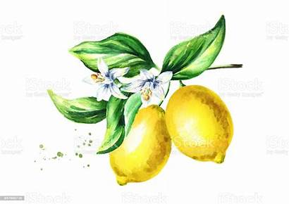 Watercolor Branch Flowers Lemon Leaves Fruits Drawn