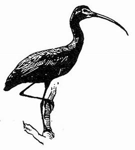 File:Glossy ibis bird line drawing black and white ...