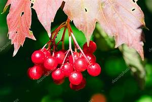 Busch Mit Roten Beeren : fragment darbustes viorne avec fruits rouges photographie pervach 6995679 ~ Orissabook.com Haus und Dekorationen
