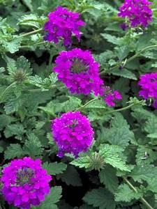 verbena homestead purple premier growers inc