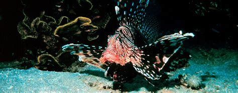 lionfish  threat  atlantic ocean fish