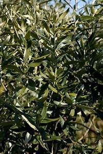 Olea Europaea  U0026 39 Tolley U0026 39 S Upright U0026 39