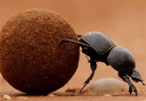 Dung beetles- Whole Earth