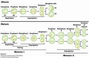 Genetic Makeup Of Daughter Cells In Mitosis