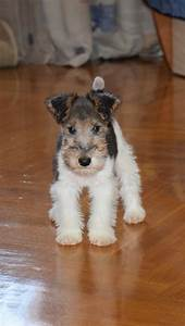 17 Best images about Wire Fox Terriers on Pinterest ...