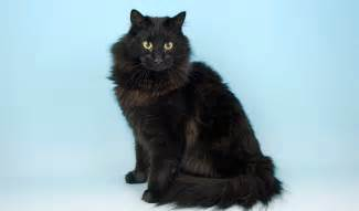 forest cat florida forest cat breed information