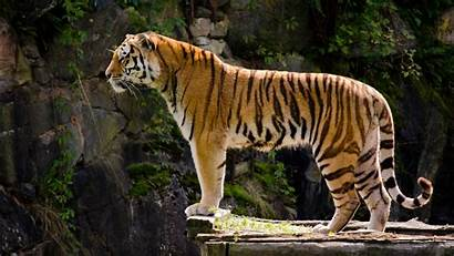 Tiger Wallpapers Wallpapers9