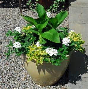 canna in pots canna lilies bird brains tales
