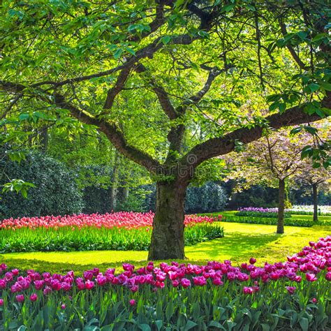 tulip flower garden free stock tree and tulip flowers garden or field in spring netherlands stock image image 31786829
